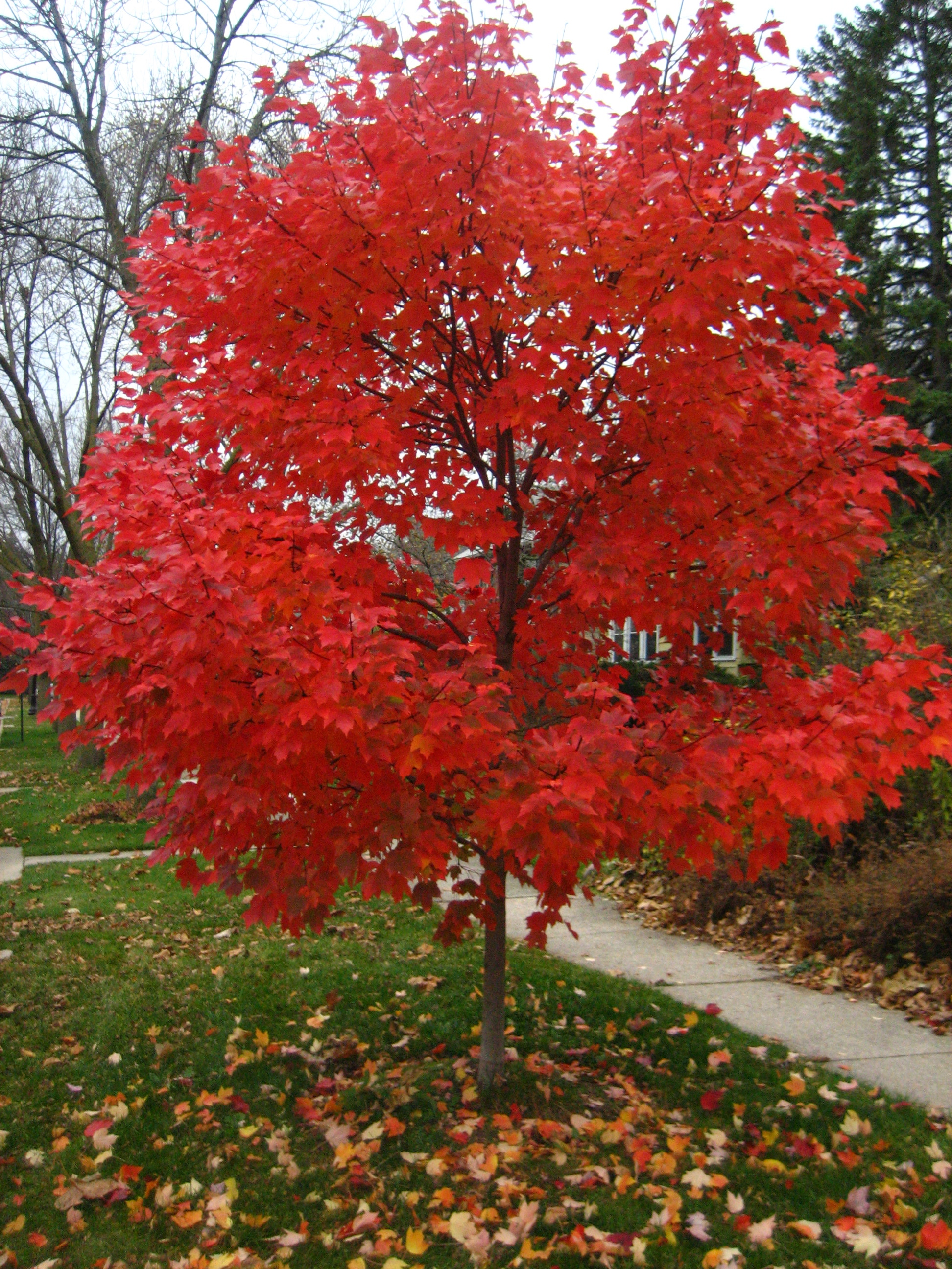 Crete replacement trees set for oct planting eastern will autumn blaze maple credit worldofpictures sciox Choice Image